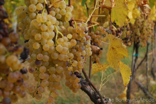 White Wine Grapes Linden Oct 2012 | The Borrowed Abode