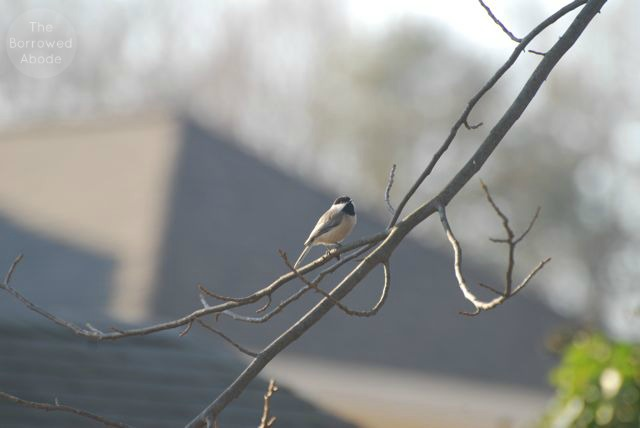 Carolina Chickadee | The Borrowed Abode