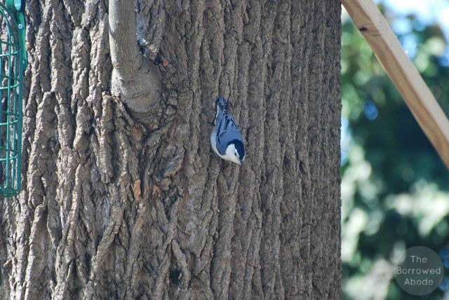 Blue Jay | The Borrowed Abode