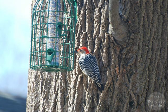 Red Bellied Woodpecker | The Borrowed Abode