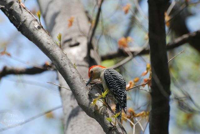 Red-Bellied Woodpecker | The Borrowed Abode