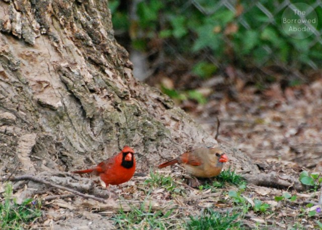 Northern Cardinal Bird Couple | The Borrowed Abode