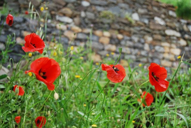 Cinque Terres Poppies | The Borrowed Abode