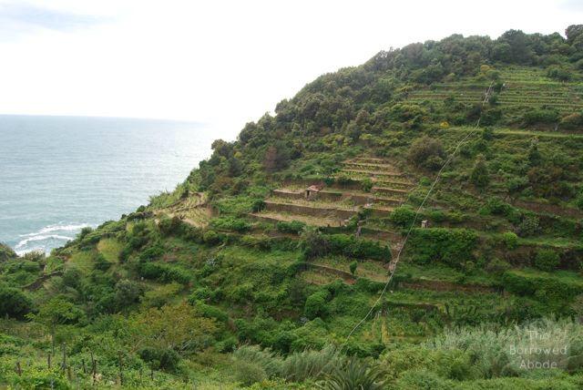 Corniglia Vineyard Cinque Terre   The Borrowed Abode
