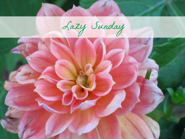 Lazy Sunday Dahlia