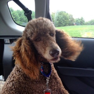 Amber Poodle Coming Home