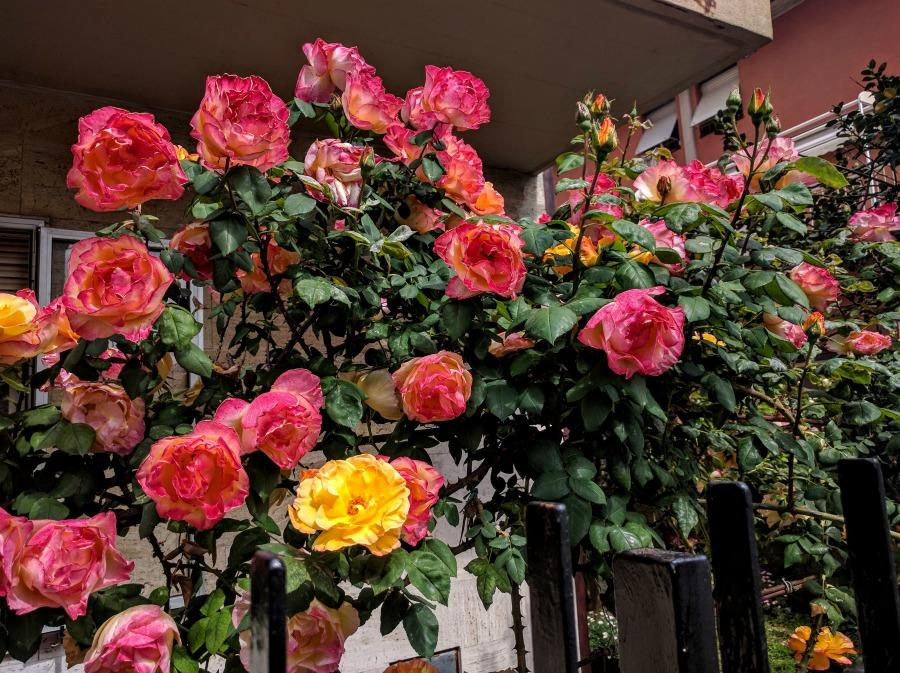 2016 Italy Levanto Roses