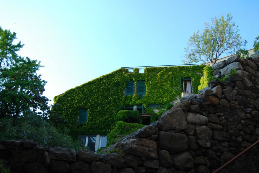 2016 Italy Monterosso Cinque Terre Ivy Wall
